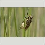 Bild 37 zum Bildarchiv Sonstige Insekten