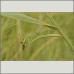 Bild 49 zum Bildarchiv Sonstige Insekten