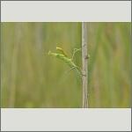 Bild 36 zum Bildarchiv Sonstige Insekten
