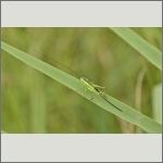 Bild 42 zum Bildarchiv Sonstige Insekten