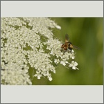 Bild 39 zum Bildarchiv Sonstige Insekten