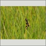 Bild 40 zum Bildarchiv Sonstige Insekten