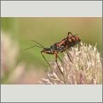 Bild 41 zum Bildarchiv Sonstige Insekten