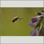Bild 43 zum Bildarchiv Sonstige Insekten