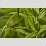 Bild 45 zum Bildarchiv Sonstige Insekten