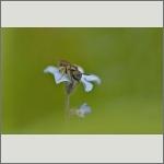 Bild 44 zum Bildarchiv Sonstige Insekten