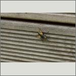 Bild 46 zum Bildarchiv Sonstige Insekten
