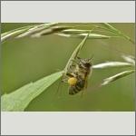 Bild 47 zum Bildarchiv Sonstige Insekten