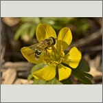 Bild 48 zum Bildarchiv Sonstige Insekten