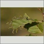 Bild 35 zum Bildarchiv Sonstige Insekten