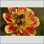 Bild 34 zum Bildarchiv Sonstige Insekten