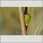 Bild 33 zum Bildarchiv Sonstige Insekten