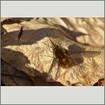 Bild 30 zum Bildarchiv Sonstige Insekten