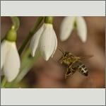 Bild 31 zum Bildarchiv Sonstige Insekten