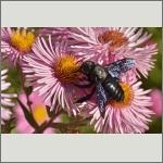 Bild 26 zum Bildarchiv Sonstige Insekten