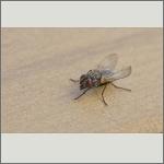 Bild 27 zum Bildarchiv Sonstige Insekten