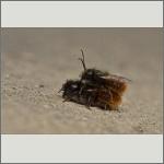 Bild 28 zum Bildarchiv Sonstige Insekten