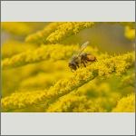Bild 21 zum Bildarchiv Sonstige Insekten