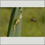 Bild 24 zum Bildarchiv Sonstige Insekten
