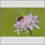 Bild 18 zum Bildarchiv Sonstige Insekten