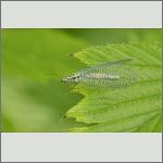 Bild 19 zum Bildarchiv Sonstige Insekten