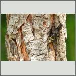 Bild 16 zum Bildarchiv Sonstige Insekten