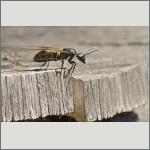 Bild 17 zum Bildarchiv Sonstige Insekten