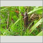 Bild 1 zum Bildarchiv Sonstige Insekten