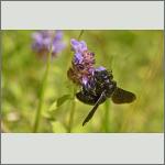 Bild 2 zum Bildarchiv Sonstige Insekten