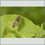 Bild 9 zum Bildarchiv Sonstige Insekten