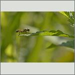 Bild 3 zum Bildarchiv Sonstige Insekten