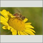 Bild 8 zum Bildarchiv Sonstige Insekten