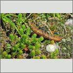 Bild 6 zum Bildarchiv Sonstige Insekten