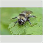 Bild 14 zum Bildarchiv Sonstige Insekten