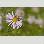 Bild 7 zum Bildarchiv Sonstige Insekten