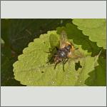 Bild 12 zum Bildarchiv Sonstige Insekten