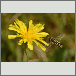 Bild 23 zum Bildarchiv Sonstige Insekten