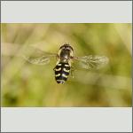Bild 10 zum Bildarchiv Sonstige Insekten
