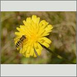 Bild 13 zum Bildarchiv Sonstige Insekten
