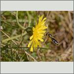 Bild 15 zum Bildarchiv Sonstige Insekten