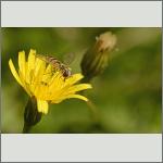 Bild 4 zum Bildarchiv Sonstige Insekten