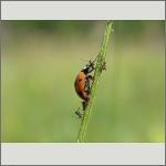 Bild 24 zum Bildarchiv Käfer