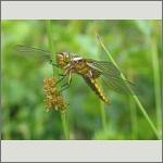 Bild 42 zum Bildarchiv Libellen