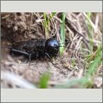 Bild 109 zum Bildarchiv Sonstige Insekten