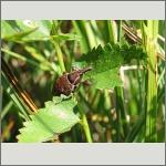 Bild 27 zum Bildarchiv Käfer