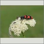 Bild 28 zum Bildarchiv Käfer