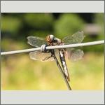 Bild 38 zum Bildarchiv Libellen