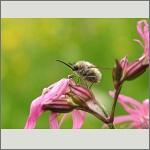 Bild 110 zum Bildarchiv Sonstige Insekten