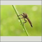 Bild 111 zum Bildarchiv Sonstige Insekten