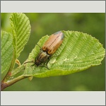 Bild 29 zum Bildarchiv Käfer